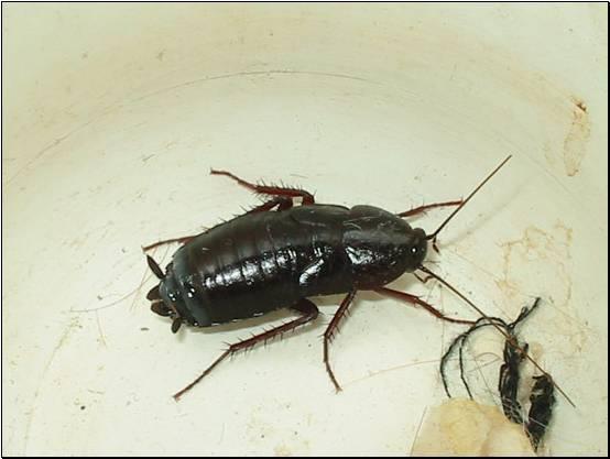 Черный реликтовый таракан.